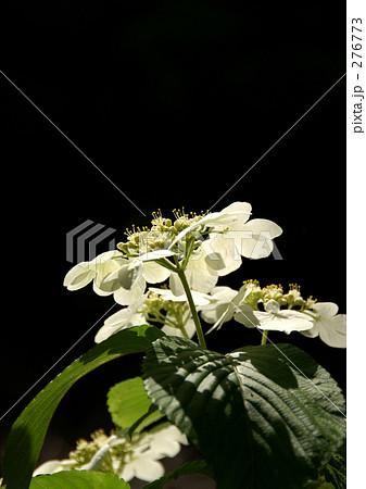 かっこいい モダン 春の花 透明感の写真素材 Pixta