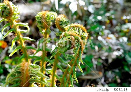 ゼンマイ 成長 シダ植物 gb011 0...