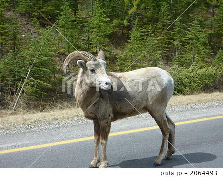 動物 野生動物 ビッグホーンシープ 大角羊の写真素材 Pixta