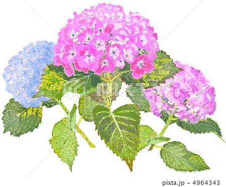 6月の花のイラスト素材 Pixta