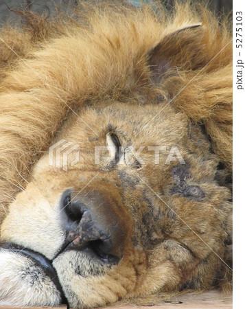 ライオン 寝顔 動物 陸上動物の写真素材 , PIXTA