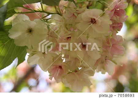 欝金の写真素材 - PIXTA
