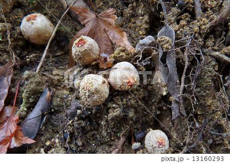軟骨質 腹菌類の写真素材 - PIXT...