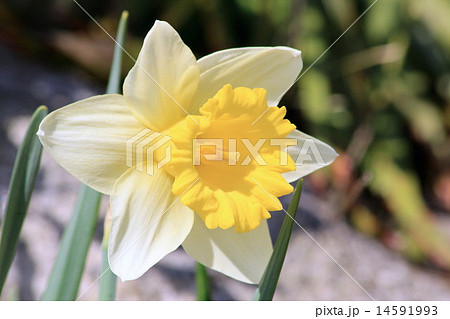 ラッパ水仙の写真素材 - PIXTA