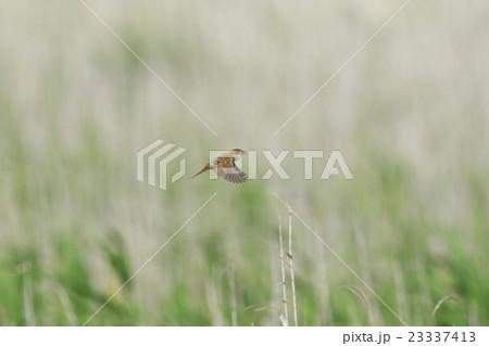 センニュウ科の写真素材 - PIXTA