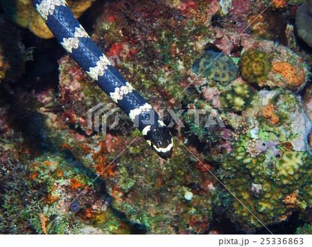 永良部海蛇の写真素材 - PIXTA