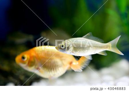 淡水魚 鮒 未成魚 水中の写真素...