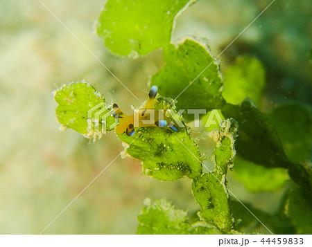 鰓脚綱の写真素材 - PIXTA