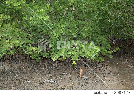 ハマザクロ科の写真素材 - PIXTA