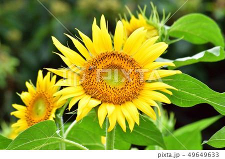 8月の花の写真素材 Pixta