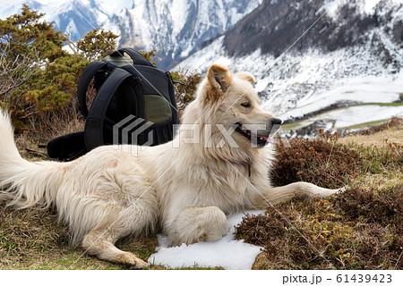 ピレネー犬の写真素材 Pixta