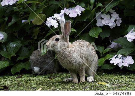 ニホン ノウサギ
